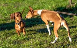 dog surprise and caution when meeting. stock photography
