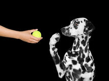 Dog is surprised to see the ball Stock Image