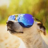Dog in suslassess on the beach. Jack Russell Terrier Looks up. T stock image