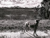 Dog in swamp Stock Photography