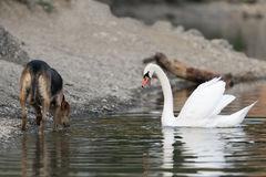 Dog and swan meet at Lake Beletsi in Greece. Stock Images