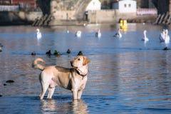Dog andSwans. The Vltava River, Prague. Dog and Swans birds. The Vltava River, Prague stock image