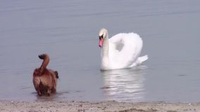 Dog and swans stock video footage