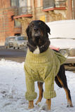 Dog in sweater 01 Stock Photography