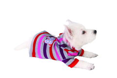 Dog in sweater Stock Photo