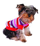 Dog in sweater. Isolated on white Royalty Free Stock Photo