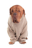 Dog with sweater Royalty Free Stock Photo