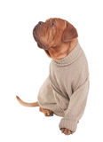 Dog with sweater Royalty Free Stock Images
