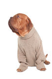 Dog with sweater Stock Photography
