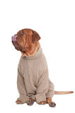 Dog with sweater Royalty Free Stock Photos