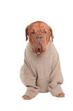 Dog with sweater Stock Photo