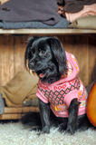 Dog in a sweater Stock Photography
