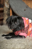 Dog in a sweater Royalty Free Stock Images
