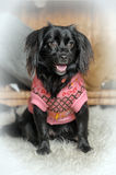 Dog in a sweater Stock Photos
