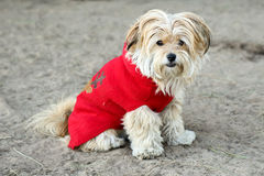 Dog sweater for Christmas. A cute Maltese mix wearing a Christmas sweater posing  at a dog park Stock Photos