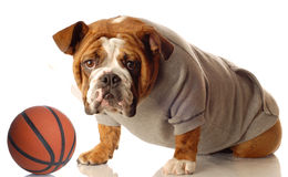 Dog with sweats and basketball Stock Photography
