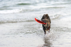 Dog  a swim the sea joyfully , Royalty Free Stock Images