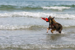 Dog  a swim the sea joyfully , Stock Photography
