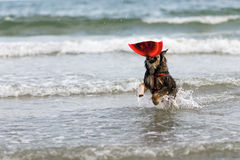 Dog  a swim the sea joyfully , Royalty Free Stock Image