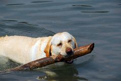 Dog swim stick Stock Photos