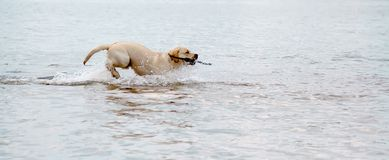 Dog swim stick Stock Photography