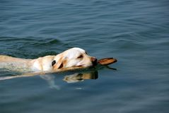 Dog swimming stock image