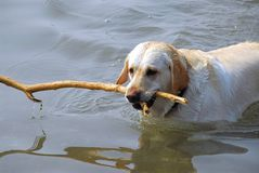 Dog swimming royalty free stock images