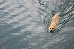 Dog swimming Stock Photo