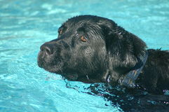 Dog swimming Stock Images