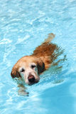 Dog swimming. A golden retriever dog swimming in clear blue pool water, front facing Royalty Free Stock Image