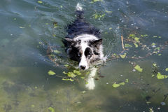 Dog swimming. In a lake in the summer Royalty Free Stock Photography