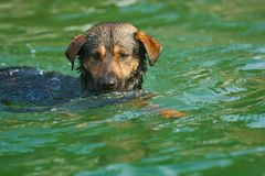 Dog swimming Royalty Free Stock Image