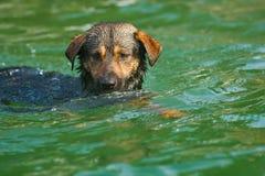 Dog swimming Royalty Free Stock Image