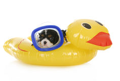 Dog swimming. Cavalier king charles spaniel wearing mask laying on water floatation device stock image