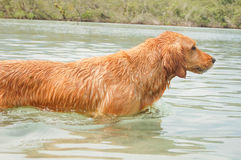 Dog swimming Royalty Free Stock Photos