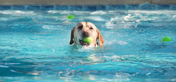Dog swimming with ball in mouth Stock Photography