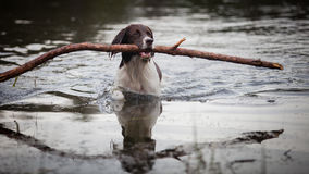 Dog swimming with a big branch in his mouth Royalty Free Stock Photo