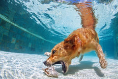 Dog swimming and diving in the pool. Playful golden retriever labrador puppy in swimming pool has fun - dog jump and dive underwater to retrieve shell. Training Royalty Free Stock Images