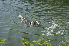 Dog swimming stock photography