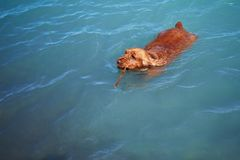 Dog is swimming royalty free stock photo