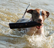 Dog Swimming and Fetching. A dog carries a large stick out of the water Royalty Free Stock Image