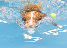 Dog is swimming and fetching the ball. Royalty Free Stock Photos