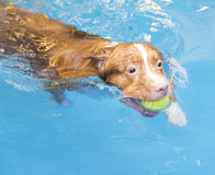 Dog is swimming and fetching the ball. Stock Photo
