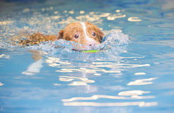 Dog is swimming and fetching the ball. Dog is fetching a ball from the water by swimming. The dog is crazy about balls and looks funny. The dog breed is a stock photo