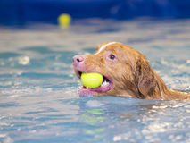 Dog is swimming and fetching the ball. Royalty Free Stock Photo