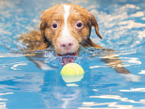 Dog is swimming and fetching the ball. Royalty Free Stock Image