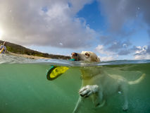 Dog swimming with a frisbee -Curacao Views Royalty Free Stock Photos