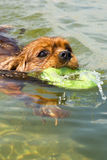 A dog swimming with fubber ring Royalty Free Stock Photos