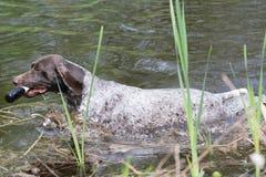 Dog swimming Royalty Free Stock Photos