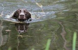 Dog swimming Stock Photography